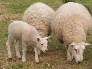 sheep_and_lamb